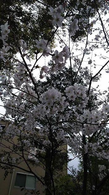 4月2日若宮八幡宮満開亀間さん