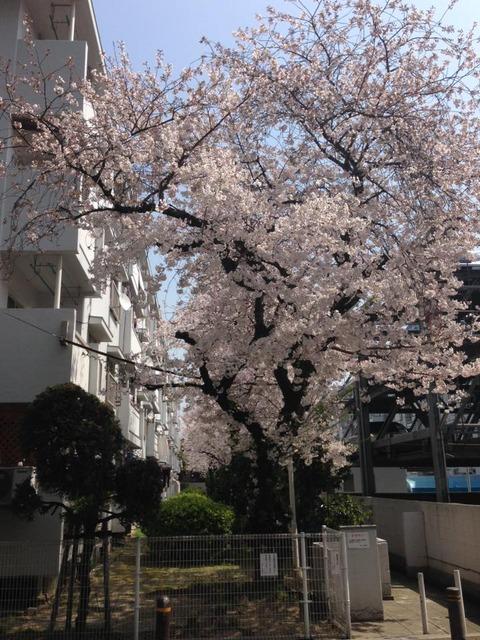 3月28日関目1丁目関目コーポの庭(写真は去年)