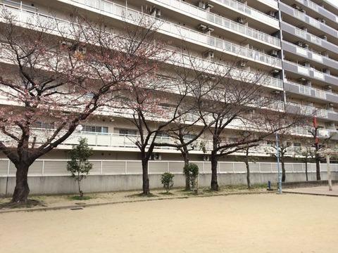 3月27日鴫野公園桜