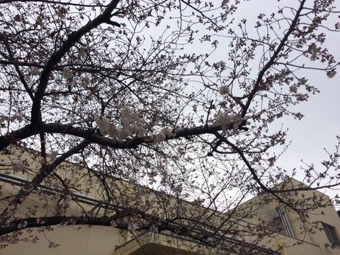 3月27日下城見橋桜